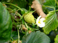 Strawberries growing at San Pé Agrigelateria, Poirino
