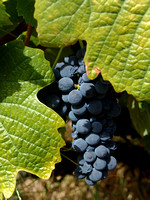 Port grapes, Douro Valley
