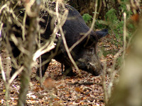 Wild boar in woods, Colle Val d'Elsa